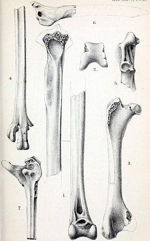 Malagasy sheldgoose - Limb fossils