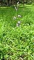Cephalanthera rubra 12.jpg