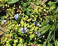 Ceratostigma willmottianum Chinese plumbago at Riverside Moorings, Shoreham, West Sussex, England.jpg