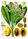 Cerbera tanghin - Köhler–s Medizinal-Pflanzen-176.jpg