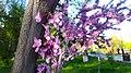 Cercis siliquastrum or Judas tree in Yerevan 02.jpg