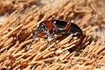 Cereal leaf beetle (garage) (8271028413).jpg