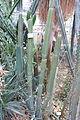 Cereus comarapanus - Botanischer Garten, Dresden, Germany - DSC08875.JPG