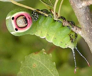 гусеница бабочки пяденицы живет на ветвях деревьев