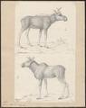 Cervus alces - 1700-1880 - Print - Iconographia Zoologica - Special Collections University of Amsterdam - UBA01 IZ21500092.tif
