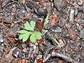 Chaerophyllum temulum 2018-04-20 9220.jpg