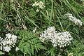 Chaerophyllum villarsii (Alpen-Kälberkropf) IMG 5301.JPG