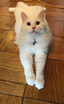 Siberian Cat Wikipedia