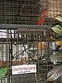 Chattering Lory - Lorius garrulus - Ninoy Aquino Parks & Wildlife Center 02.jpg