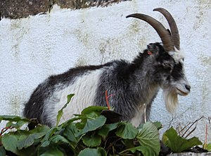 Cheddar Gorge - A goat in the gorge