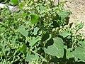 Chenopodium vulvaria inflorescence (24).jpg
