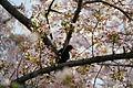 Cherry Blossom DC 2014 (14100930595).jpg