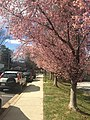 Cherry Blossoms in Twinbrook, MD.jpg