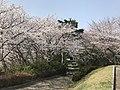 Cherry blossoms in Sasayama Park 6.jpg