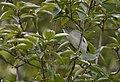 Chestnut-sided Warbler (45036883921).jpg