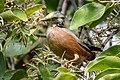 Chestnut-tailed starling (Sturnia malabarica) 18.jpg