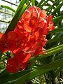 Chiang Mai Orchids P1110378.JPG