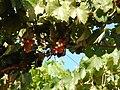 Chilean pisco grapes.jpg