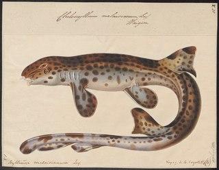 Indonesian speckled carpetshark Species of shark