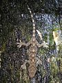 Chinese Gecko (Gekko chinensis) (Gekko similignum)? 壁虎 (5780801380).jpg