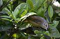 Chipe Corona Naranja, Orange-crowned Warbler (Leiothlypis celata), Huauchinango, Puebla, México.jpg