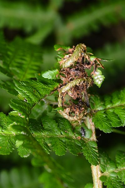 Chirosia betuleti on Dryopteris sp.