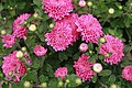 Chrysanthemum Debonair 2zz.jpg