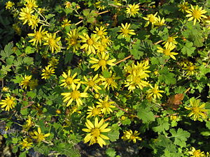 Chrysanthemum indicum1.jpg