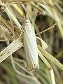 Chrysoteuchia culmella (Crambidae) - (imago), Arnhem, the Netherlands.jpg