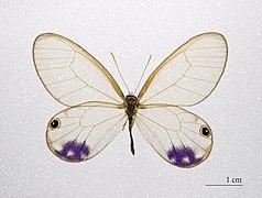 Cithaerias Esmeralda MHNT.ZOO.2004.0.976 (2).jpg