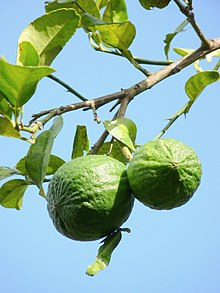 220px-Citrus_aurantiifolia_of_Kadavoor.jpg