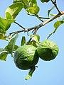 Citrus aurantiifolia of Kadavoor.jpg