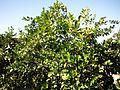 Citrus greening.JPG