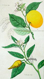 <i>Citrus limetta</i> species of plant