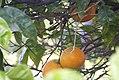Citrus sinensis-2204.jpg