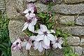 Clematis - Haddon Hall - Bakewell, Derbyshire, England - DSC02882.jpg