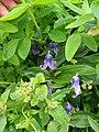 Clematis albicoma hybrid - Flickr - peganum (1).jpg