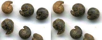 Cleome - Cleome seeds resemble snail shells