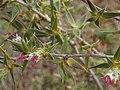 Cliffortia ruscifolia Gifberg 02.jpg
