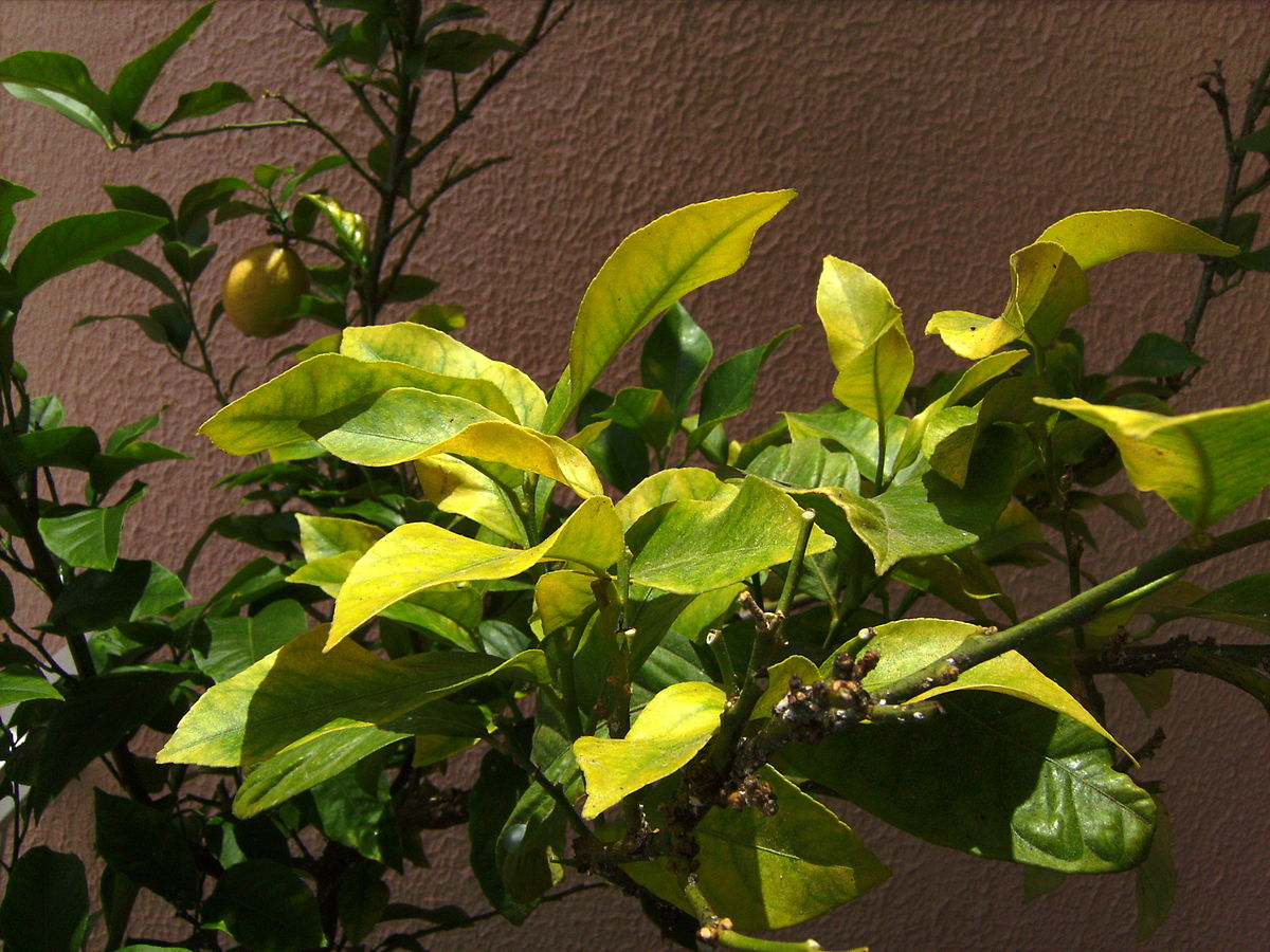 Iron deficiency (plant disorder) - Wikipedia