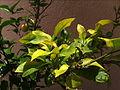 Clorosi fulles llimonerhu.JPG
