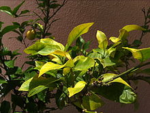 Iron Deficiency Plant Disorder Wikipedia