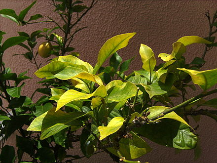 Iron deficiency showing chlorotic leaves in a lemon tree. Compare yellow chlorotic leaves with the green non chlorotic leaves at left of this image