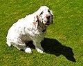 Clumber Spaniel on Grass.jpg