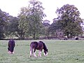 Clydesdale Horses, Penrith - geograph.org.uk - 2188639.jpg
