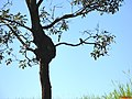 Cocóta, Maitaca Verde ou Maritaca Verde (Pionus maximiliani) na subida da SP-345 - Rodovia Prefeito Fábio Talarico - panoramio.jpg