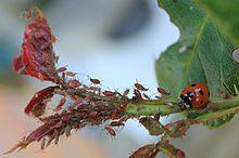 Régime alimentaire des Coccinelles dans COCCINELLE 220px-Coccinellidae_eating_Aphidoidea