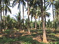 Coconut-farm.jpg