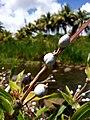 Coix lacrima-jobi (Poaceae) 01.jpg