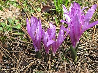 Colchicum bulbocodium - Image: Colchicum bulbocodium